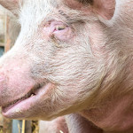 Genotype 4 Hepatitis E identified in a pig farm