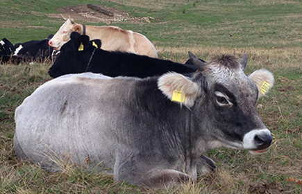 Autochthonous breeds of cattle in Northern Italy