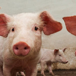 Effectiveness of field vaccination against pandemic H1N1 in pigs