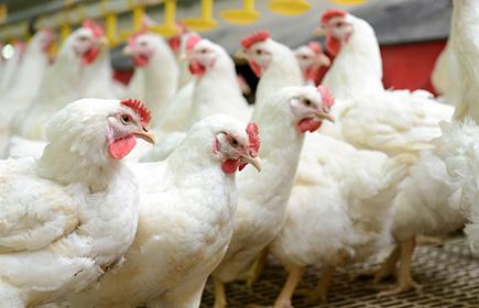 Avian influenza transmissibility