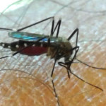 The Japanese mosquito arrived in Italy