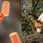 IZSVe develops innovative anti-rabies treatments
