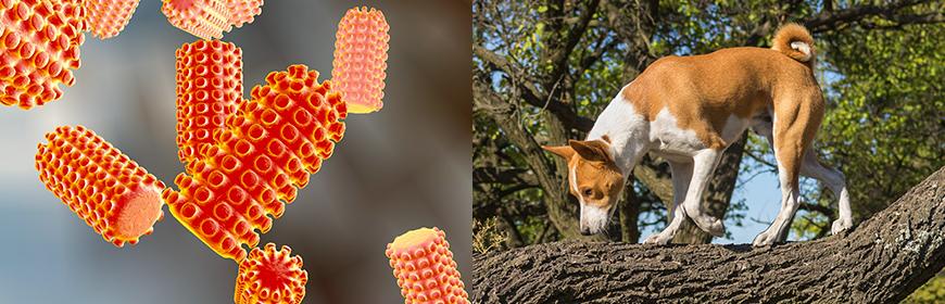 IZSVe develops innovative anti-rabies treatments