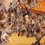 Rabies. The Italian guidelines for professionals who handle bats