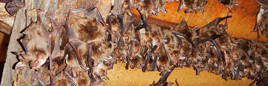 Rabies. How to mitigate the risk for professionals who handle bats