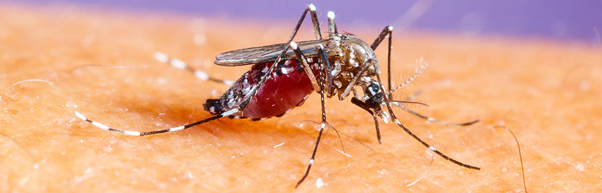 Asian tiger mosquito: how to avoid the risks [video]