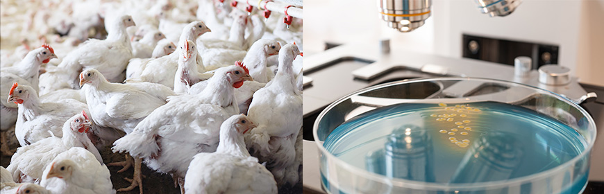 Escherichia coli producers of enzymes that confer resistance to antibiotics. How widespread are they in poultry?