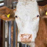Illegal treatment in beef cattle: an indirect and more effective tracing method