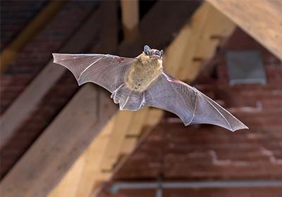 Bats in swine farm