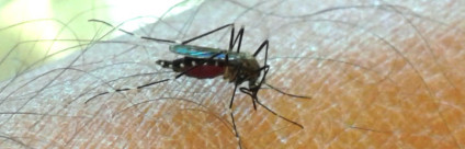 Japanese Mosquito Arrived In Italy